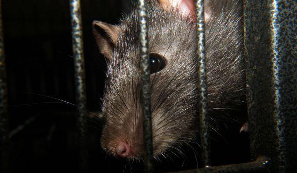 rat-600-350-1